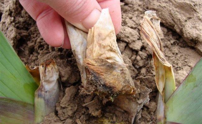 Фрезия: полив, внесение удобрений, болезни и вредители, особенности ухода