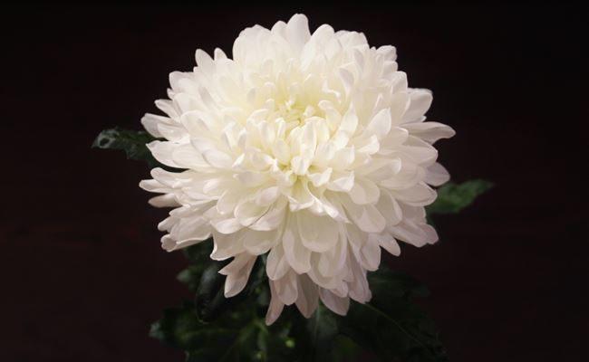 Антон Чехов - сорт растения Хризантема