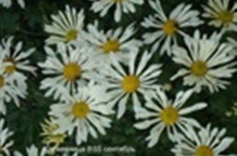 Хризантема кружевница описание фото