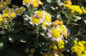 Аджания пацифика, моя зимняя хризантема