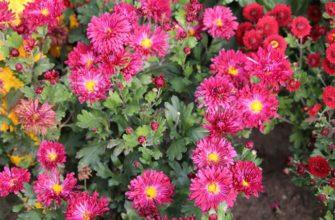 Симфония - сорт растения Хризантема
