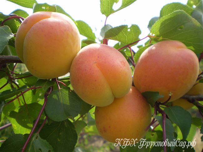 Характеристика плодов и их назначение