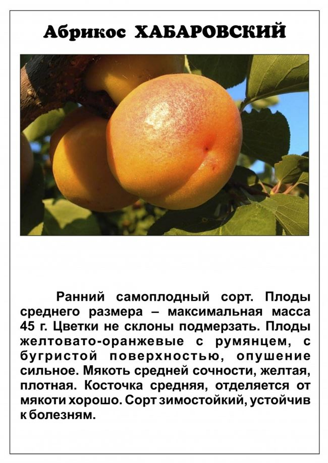 Описание дерева и плодов