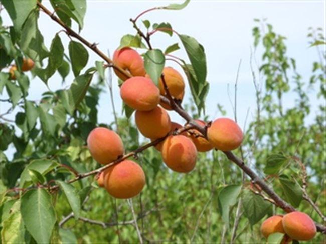 Посадка абрикоса