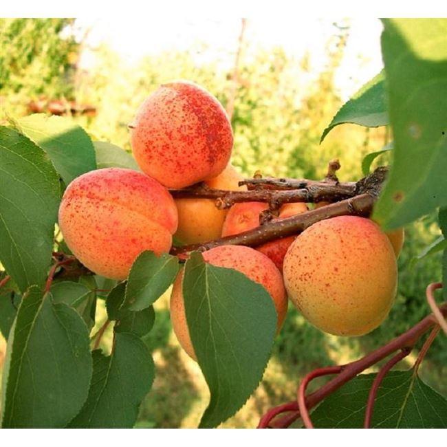 Прививка абрикоса
