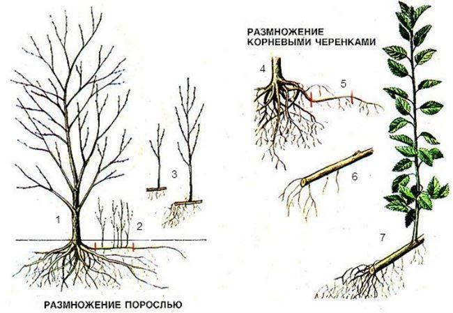 Размножение корневыми отпрысками или порослью
