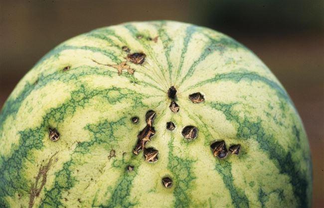 Обработка арбузов от болезней и вредителей