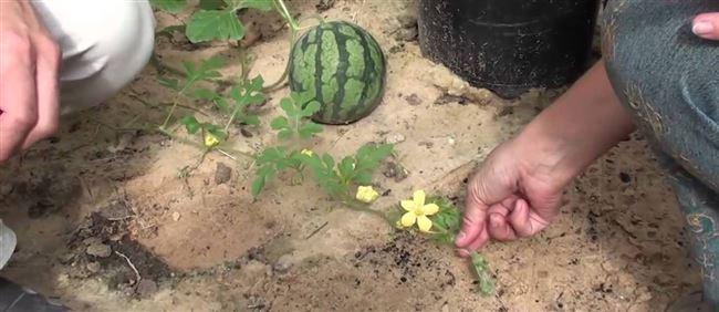 Когда сажать арбуз в грунт