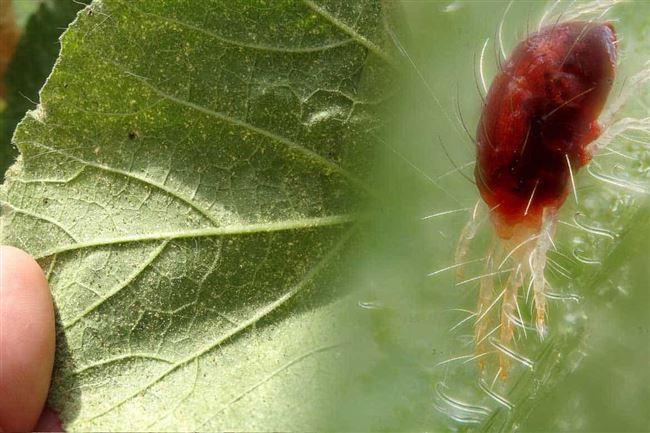 Народные методы борьбы с паутинным клещом