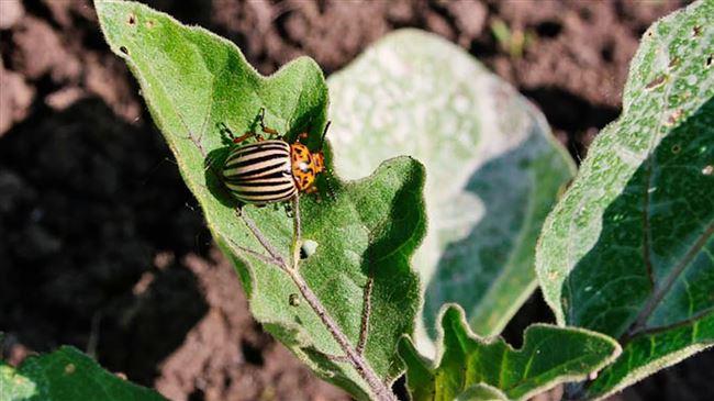 Чем опасен колорадский жук