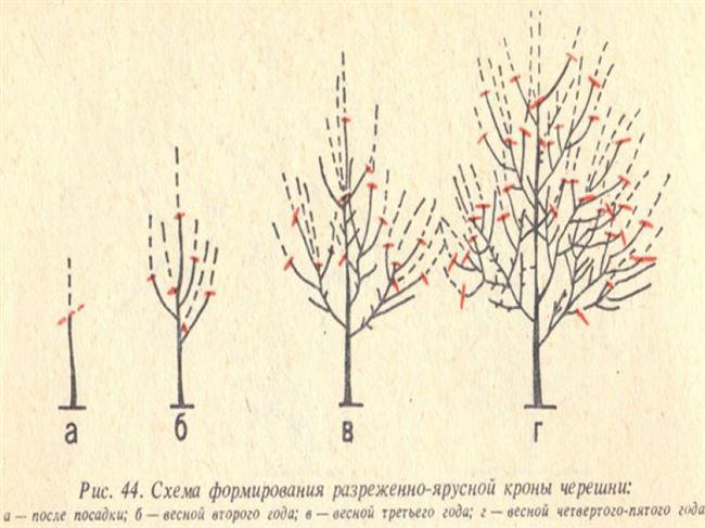 Обрезка и формирование кроны