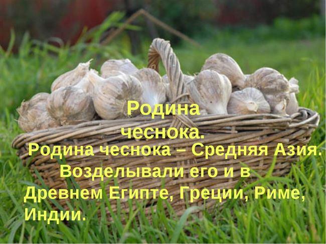 История происхождения чеснока и его появление на Руси