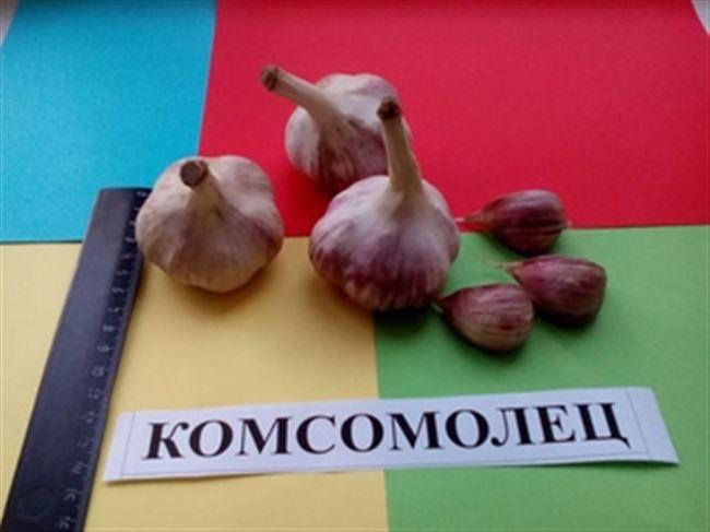 Озимый чеснок Комсомолец – характеристика сорта, посадка и уход