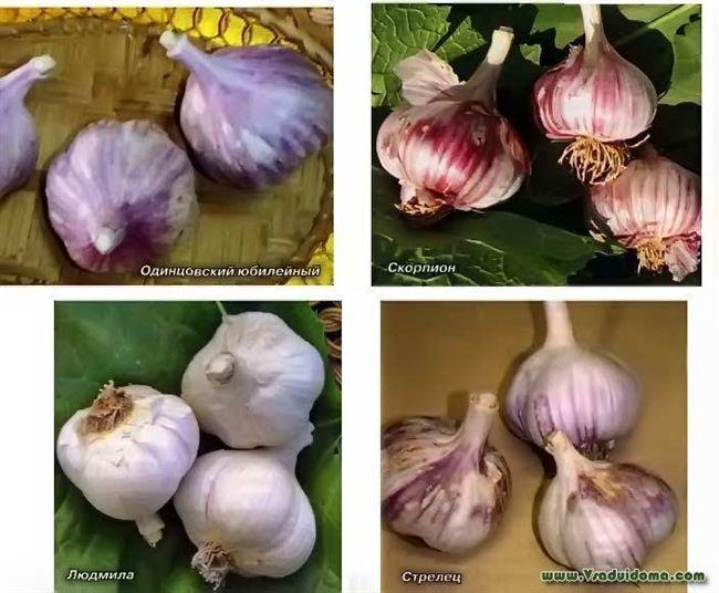 Чеснок Петровский описание и характеристика сорта отзывы садоводов с фото