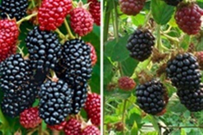 Выращивание и уход: