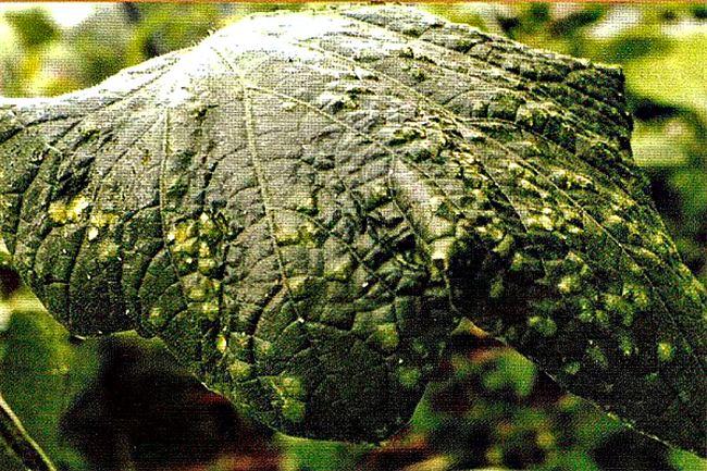 Мозаичные болезни растений. Поражение, пятна зеленого или белого цвета на листьях и плодах. Признаки, симптомы, лечение, профилактика