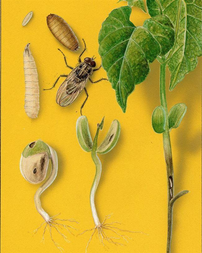 Как бороться с ростковой мухой на фасоли?