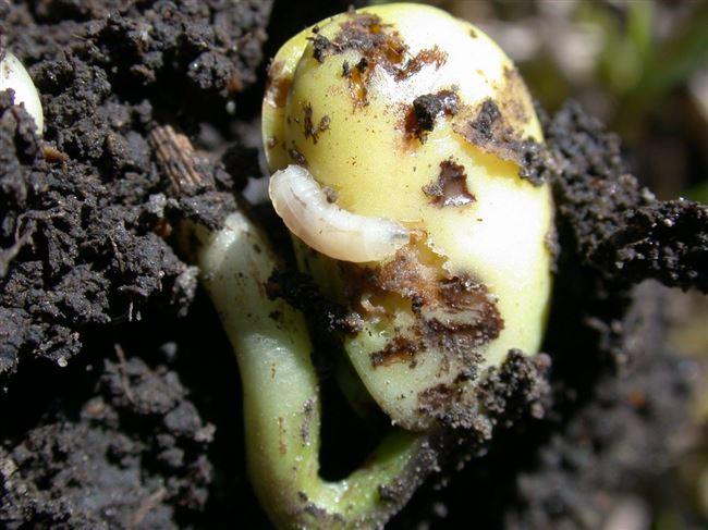 Профилактика появления садовых вредителей фасоли