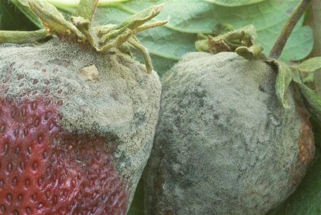 Какой вред наносит растениям серая гниль, ее профилактика и уничтожение