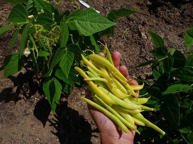 Правильная посадка и выращивание спаржевой фасоли в открытом грунте