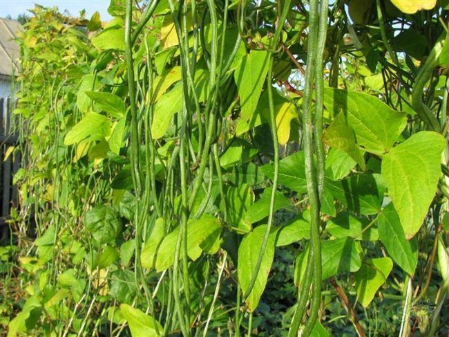 Выращивание бобов в теплице