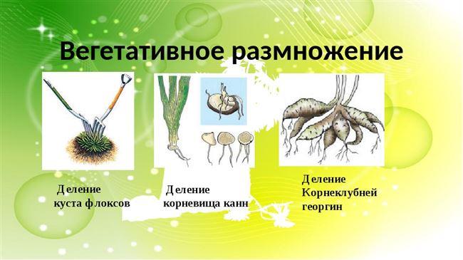 Вариант 1. Размножение делением кустов