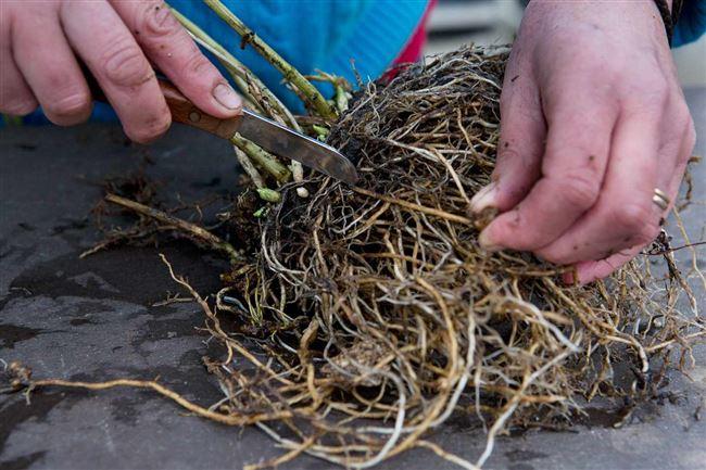 Посадка флоксов в грунт многолетних весной, осенью корнями, черенками