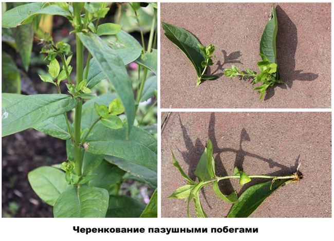 Размножение ростовыми побегами