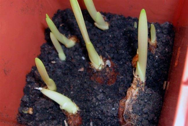 Размножение из клубней
