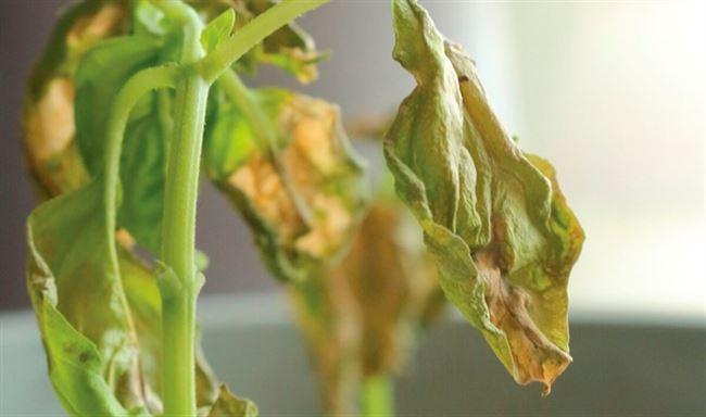 Болезнь фузариоз – описание