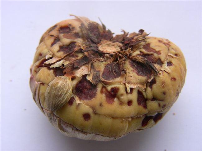 Фузариозное поражение клубней и луковиц