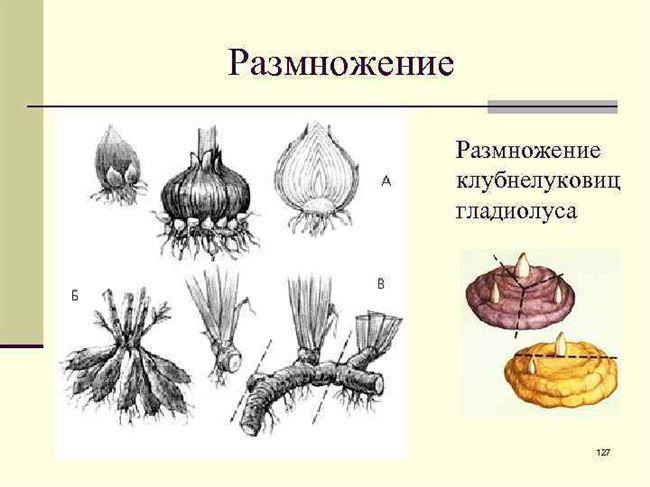 Размножение гладиолусов черенкованием