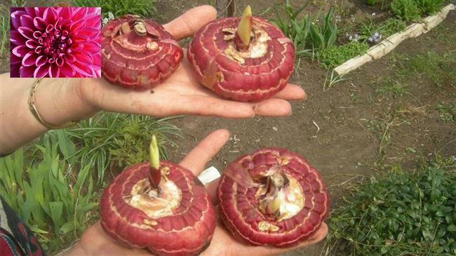 Подготовка луковиц к посадке
