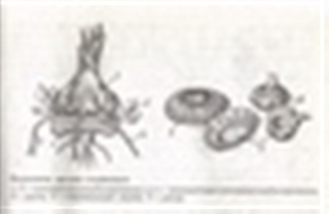 Размножение гладиолусов детками (клубнепочками)