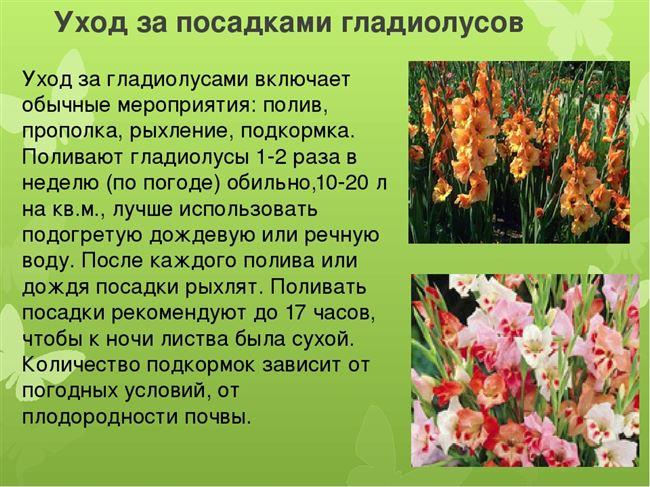Размножение гладиолусов