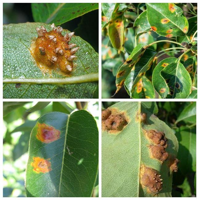 Болезни листьев груши и их лечение