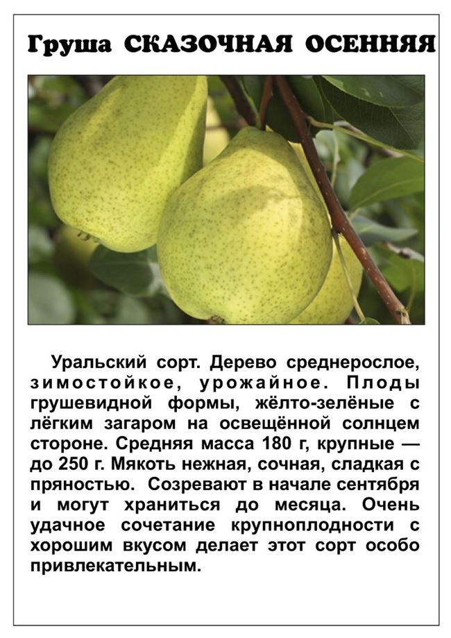 Ботаническое описание и характеристика груши