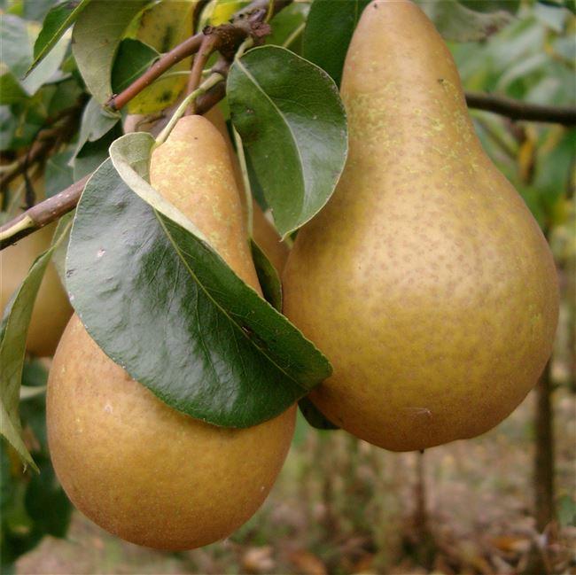Описание плодов