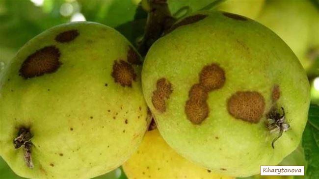 Парша на плодах: коричневые пятна на плодах