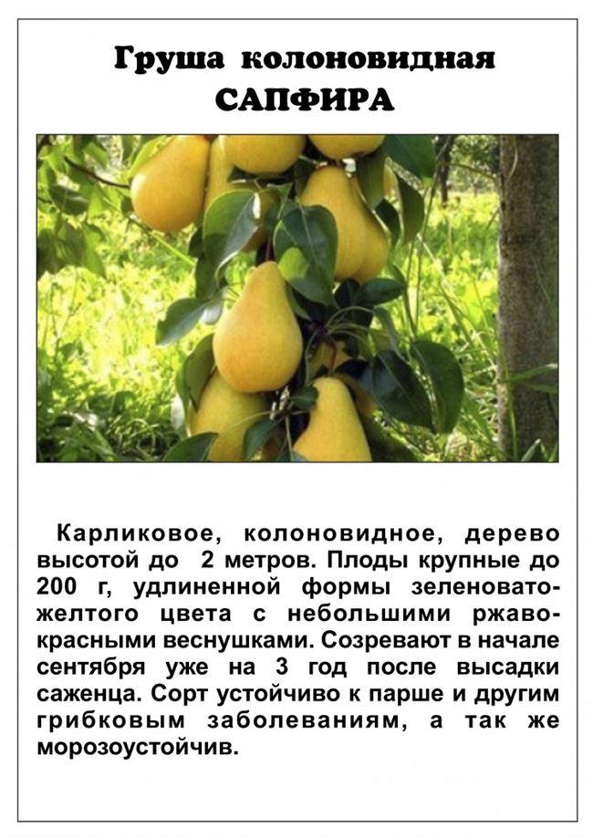 Размножение колоновидных груш: самые распространенные способы