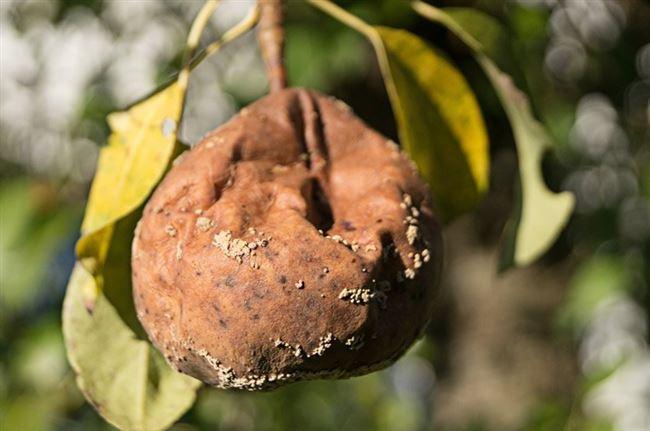 Устойчивые к монилиозу сорта груши