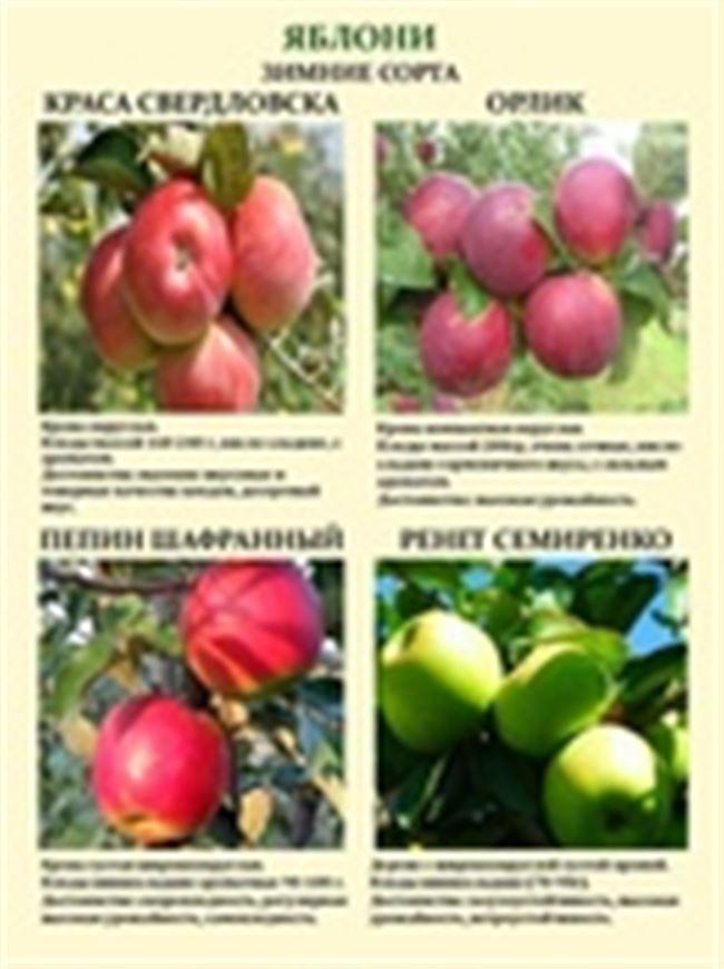 Дегустационная оценка и описание плодов