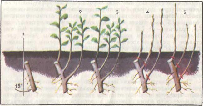 Использование корневых черенков