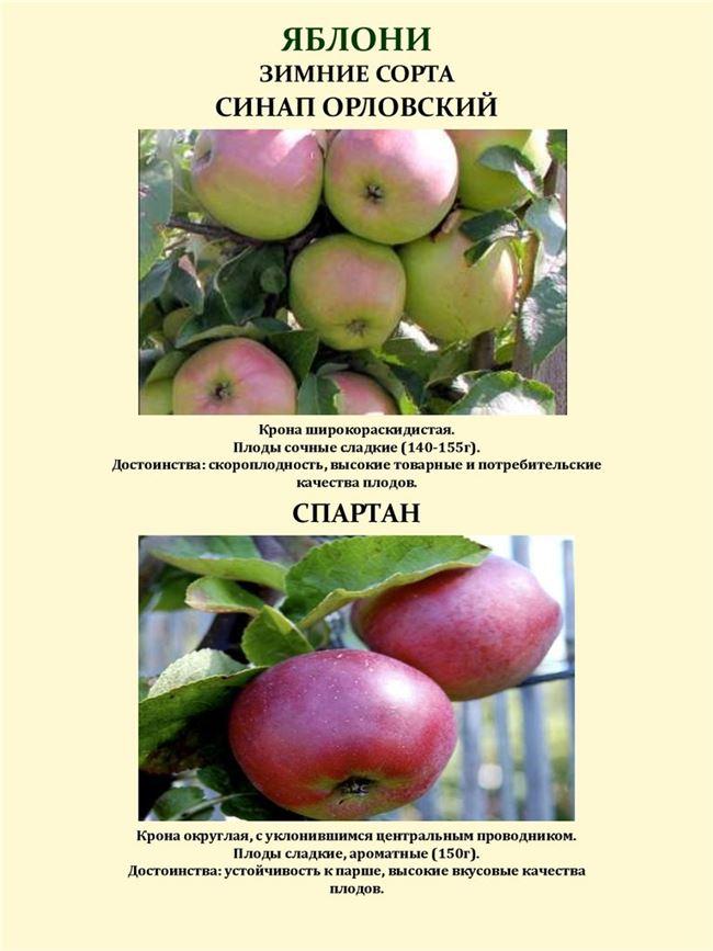 История выведения яблони Синап