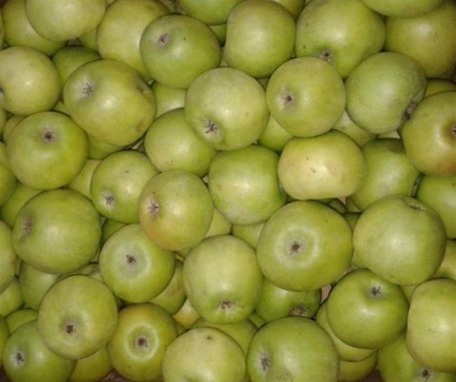 Как хранить яблоки Семеренко