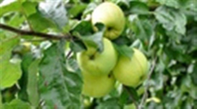 Как привить Антоновку к другой яблоне?