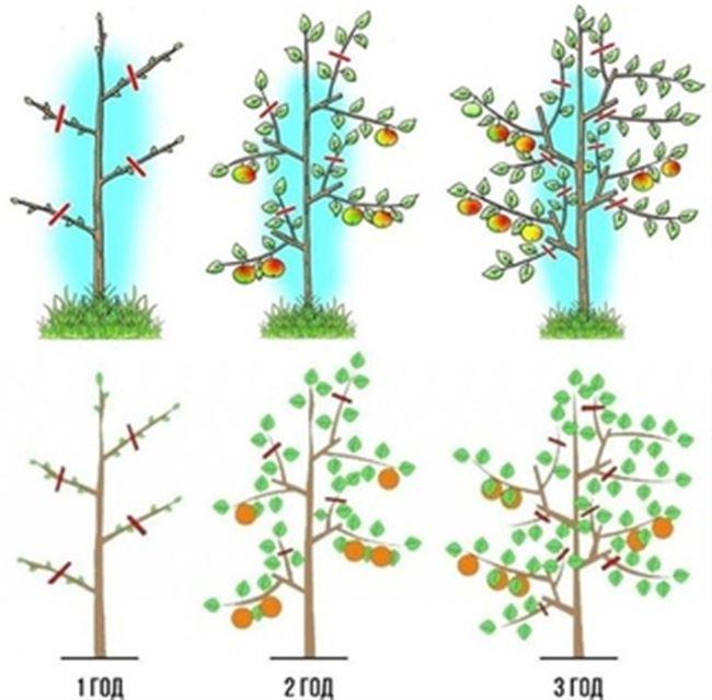 Как ухаживать за колоновидной яблоней весной