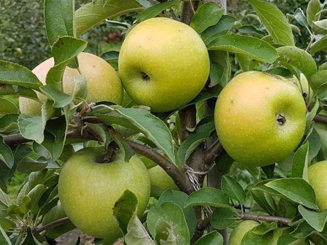 Когда собирать яблоки сорта Семеренко