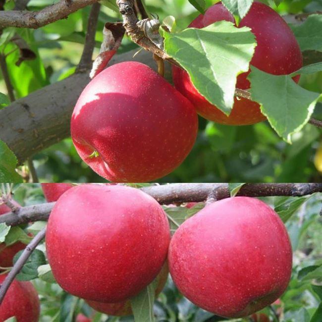 Описание сорта яблони Богатырь