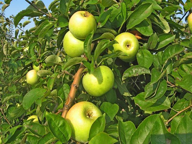 Опылители яблони